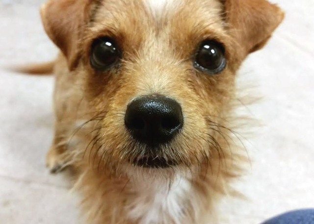 Chiquilin, The Animal Foundation My name is Chiquilin (ID No. A811341), and I'm a 9-month-old neutered male terrier looking for my new family. I'm a happy little guy with lots of puppy energy, ...