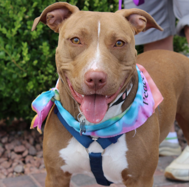Samantha Sue, Animal Network Samantha Sue is great in the house, and is house-trained. She knows all of her basic commands and is very gentle. She is a low-key, mellow girl who wants to hang out w ...