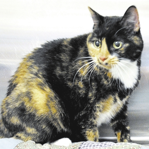 Chloe, Happy Home Chloe is a black and red tortoiseshell with a white chest and feet. She is a mellow girl who becomes a purr-machine when petted. She is spayed and current on vaccines and has no  ...