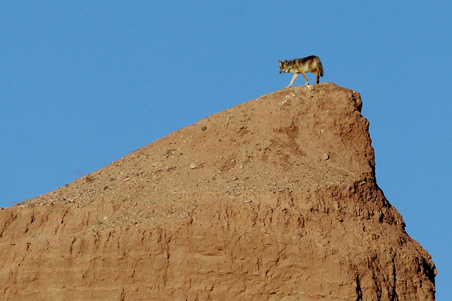 A coyote walks on a small ridge near the Overton Arm of Lake Mead at the Lake Mead National Recreation Area in Nevada Wednesday, Jan. 15, 2014.  (John Locher/Las Vegas Review-Journal)