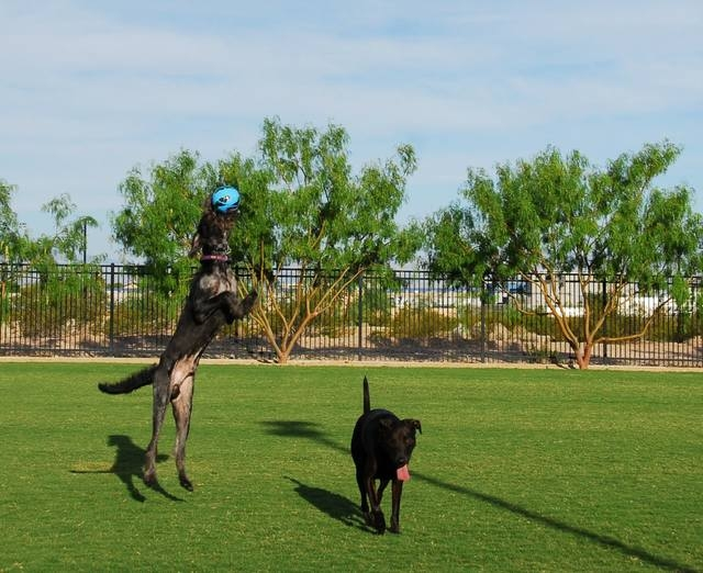 Labradoodle Jughead leaps into the air above Labrador-mix Canyon as he catches a junior-size soccer ball while playing at the Bark Park on E. Burkholder Boulevard near Racetrack Road, in Henderson ...