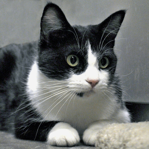 Tuesday, Happy Home Tuesday is a 2-year-old black and white short hair. She is very active and loves to play. She craves attention from people but doesn't like other animals. She's spayed and  ...