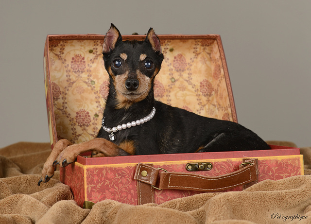 Baby, Nevada SPCA I need someone to love. I'm thoughtful and kind, house-trained and compatible with kids and dogs. My name is Baby, and I'm a 12-year-old spayed female miniature pinscher. Vis ...