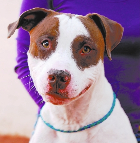 Henry, Nevada SPCA I hope that you can see the love and hope in my eyes. Despite a cruel past, I still believe in human goodness, and I want to love someone kind. My name is Henry, and I am a youn ...