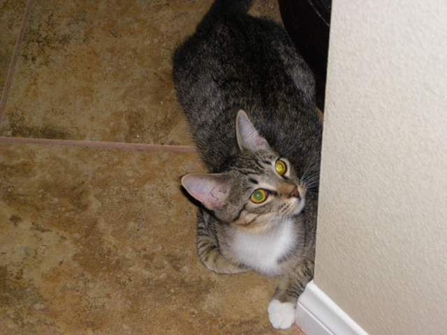 Maggie, Paws 4 Love Maggie is a 5-month-old female tabby. This beautiful little girl was found with her brothers in a land fill. She is such a little cutie and does well with both cats and dogs. M ...
