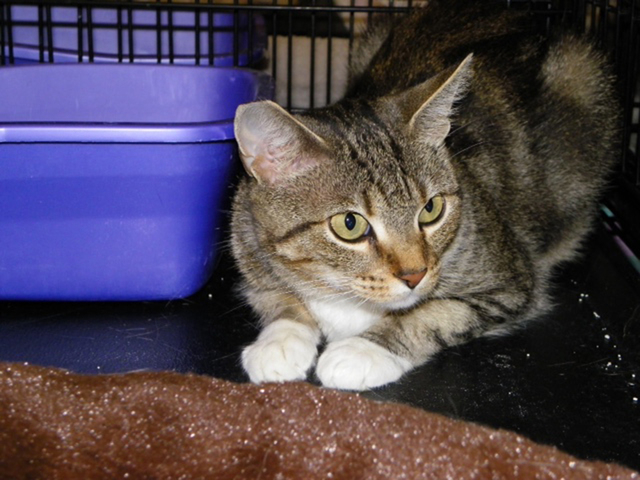 Pearl, Paws 4 Love Pearl is a 2-year-old female tabby. This lovely lady was found outside. Pearl loves to be with people and likes attention. She is OK with other cats but tends to be a loner. She ...