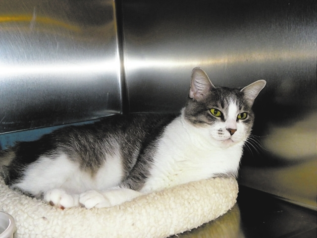 Victoria, Paws 4 Love Victoria is a 1½-year-old female gray and white tabby. Victoria was dropped off at a clinic with her three babies in a box. She is a beautiful girl, and she gets along with  ...