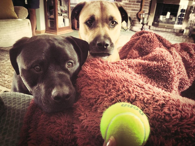 """Gina and Michael Campbell of Las Vegas said, """"This is a photo of Moose and Otter.  Moose is a black pit/Labrador who was rescued from Lied Animal Shelter five years ago. He recently beat cancer  ..."""
