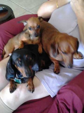 """Rebecca Gutierrez of Las Vegas said, """"It's always a Three Dog Night at the Gutierrez house with Hailee, Hanna and Holly. The two older girls are Dachshunds, and little Holly is a Chiweenie. Sh ..."""