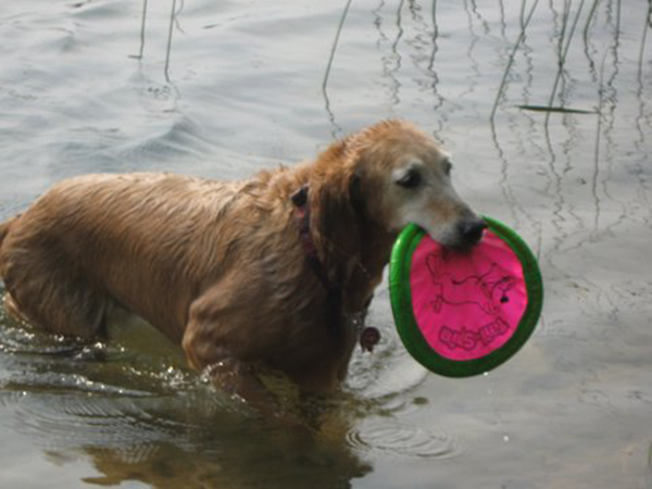 """Susan and Dan Walsh of Henderson said, """"This is Trixi, our golden retriever we rescued in Montana. Even though she has hip dysplasia and arthritis of the spine, she is an avid Frisbee player. Ve ..."""