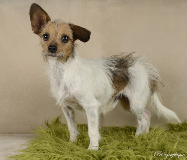 Rio Southern Nevada Beagle Rescue Rio is an approximately 2-year-old male terrier mix. Rio takes a while to trust, but once he does, he has an abundance of love. He is a little guy at 5 pounds and ...