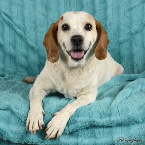 Thelma, Southern Nevada Beagle Rescue Thelma is a 9-year-old female beagle. Her owners dumped her when they were moving. She had a hernia grow so big it took over her abdomen, but now she is thriv ...