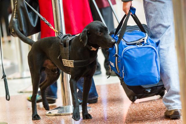 Passenger screening canine Ozzy, a labrador retriever, sniffs through bags as passengers walk through the Terminal 3 TSA checkpoint at McCarran International Airport in Las Vegas on Tuesday, Dec.  ...