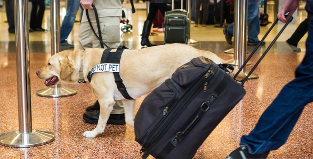 Passenger screening canine Alfred, a labrador retriever, sniffs through bags as passengers walk through the Terminal 3 TSA checkpoint at McCarran International Airport in Las Vegas on Tuesday, Dec ...