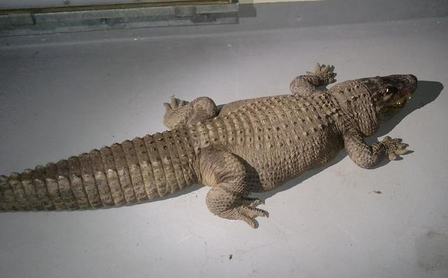 An eight foot alligator that was taken from a home by the Los Angeles Animal Control Department is shown in this handout photo released to Reuters January 15, 2015. (REUTERS/Los Angeles Animal Con ...