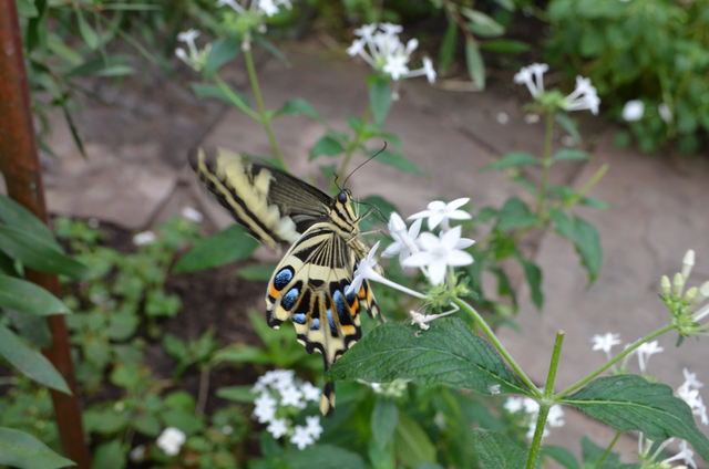 A swallowtail butterfly sips from a flower in Butterfly Wonderland in Scottsdale, Ariz. (Ginger Meurer/Las Vegas Review-Journal)