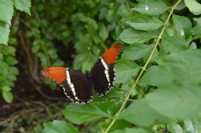 A butterfly lands on a tree in Butterfly Wonderland in Scottsdale, Ariz. (Ginger Meurer/Las Vegas Review-Journal)