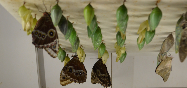 Butterflies arrive in their chrysalis state at Butterfly Wonderland in Scottsdale, Ariz. When they're just about to come out, they are placed in the Butterfly Emergence Gallery, a viewing window ...