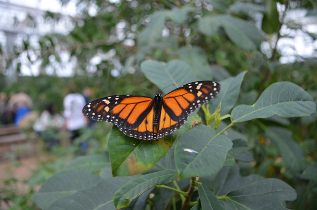 A Monarch butterfly rests inside Butterfly Wonderland, one of the newest attractions in Scottsdale, Ariz. (Ginger Meurer/Las Vegas Review-Journal)