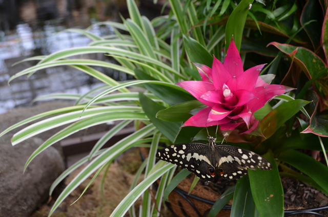 A clipper butterfly perches on a plant near the pond inside the atrium at Butterfly Wonderland in Scottsdale, Ariz.(Ginger Meurer/Las Vegas Review-Journal)