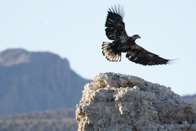 A juvenile bald eagle takes flight during the annual winter bald eagle survey by the National Park Service near Echo Bay Marina at the Lake Mead National Recreation Area Tuesday, Jan. 6, 2015. (Er ...