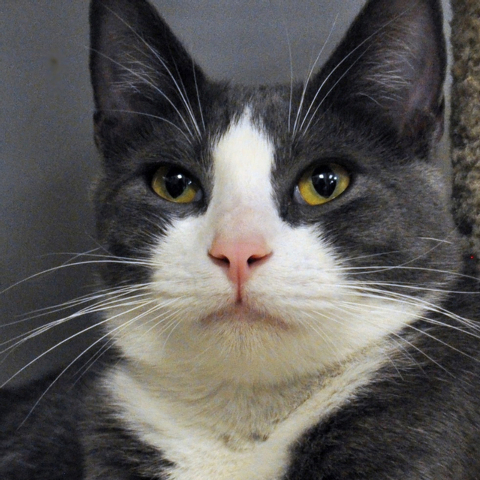 Jabba, Happy Home Jabba is a gray and white short-haired sweet boy. He likes attention and loves to play. He is 10 months old, neutered and current on his shots. He and his brother Wookie are both ...