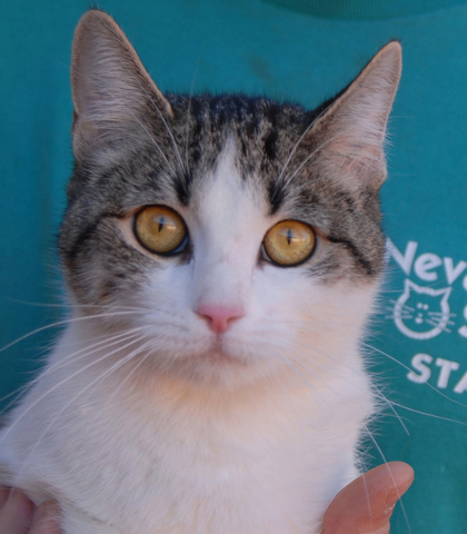 Lexus, Nevada SPCA Say yes to me, and all of my love is yours. I'm easily entertained: playing with straws and empty boxes engages me for hours! I am happy at your side. My name is Lexus, and I  ...
