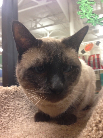 Kizmet, Paws 4 Love Kizmet is an 8-year-old male seal point Siamese who was turned in by his owner. He is a great cat. He is a big boy and has beautiful, crossed blue eyes. He does well with other ...