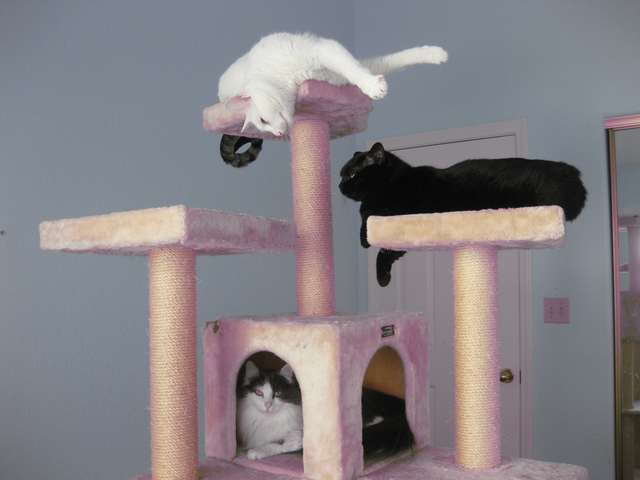 """Ardelle Bellman of Las Vegas sent this photo of her cats, Al and Annie, top and bottom (brother and sister), and Dawny, saying, """"Al and Annie were adopted about an hour before the needle. They a ..."""