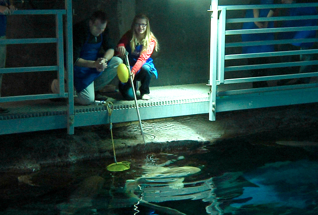 Chris Martin and daughter Arianna from Edmonton, Alberta, Canada, feed tiger sharks at Shark Reef Aquarium at Mandalay Bay Resort and Casino on Wednesday, December 31, 2014. (Michael Quine/Las Veg ...