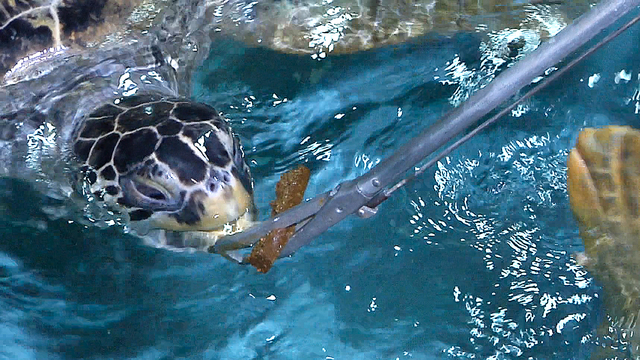 Guests are allowed to feed sea turtles at the Shark Reef Aquarium Animal Encounters at Mandalay Bay Resort and Casino on Wednesday, December 31, 2014. (Michael Quine/Las Vegas Review-Journal)