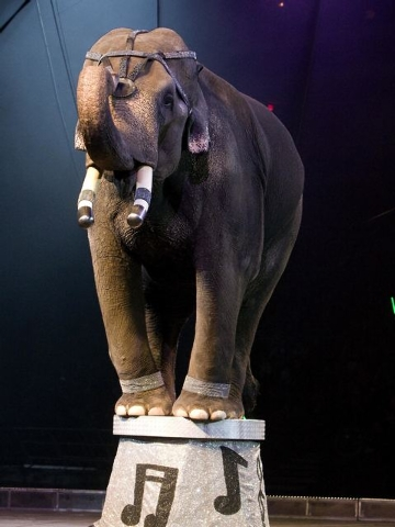 Elephants will perform -- and give pre-show rides to audience members -- when the Shrine Circus comes to the Orleans Arena Thursday. Courtesy photo.