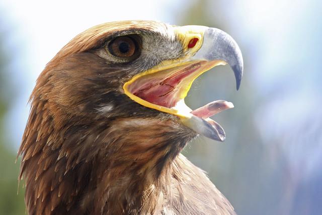 Golden Eagle (Thinkstock)