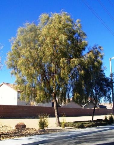 Drop Crotching A Better Method Of Pruning Acacia Trees Las Vegas