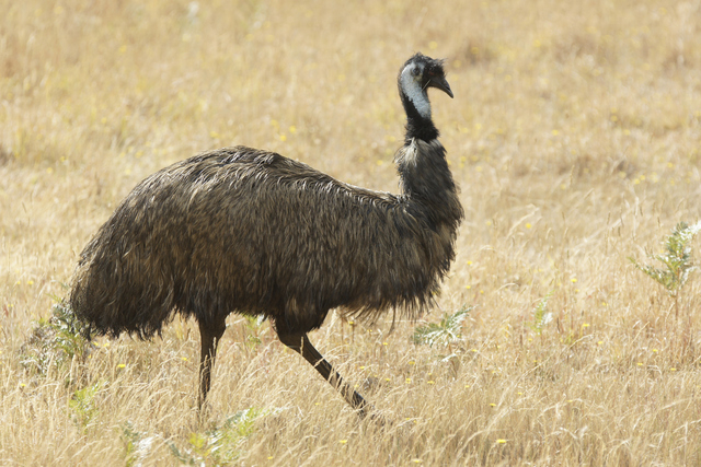 Emu (Getty Images/Thinkstock)