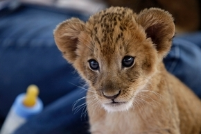 Seven lion cubs were welcomed to the Lion Habitat Ranch in November.  (Review-Journal)