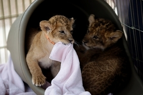 Lions play at the Lion Habitat Ranch at 382 E. Bruner Drive in Henderson. (Review-Journal)