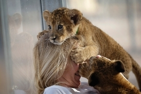 Lion cubs play on top of Beverly Evans at the Lion Habitat Ranch in Henderson on Dec. 30.  (Review-Journal)