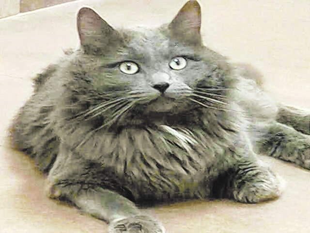 Cisco, The Animal Foundation My name is Cisco (ID No. A823244), and I'm a handsome 2-year-old neutered male domestic longhair with lots of love to share. I love to play with toys, and my easy-go ...