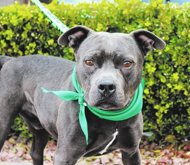Loco, Animal Network Loco is crazy in name only. He is an absolute sweetheart. This friendly guy loves everyone he meets, including kids of all ages and other dogs. He is around 2 years old and is ...