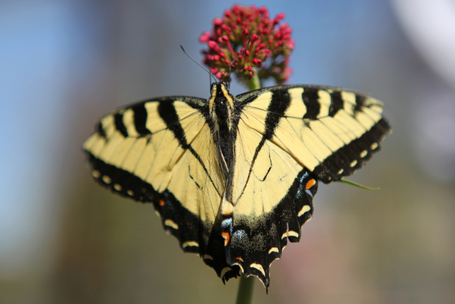 A Two Tailed Swallowtail Is Photographed At The Butterfly Habitat Inside  The Springs Preserve Botanical