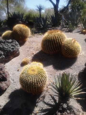 Courtesy Photo Poor soil drainage and watering too often can be detrimental to barrel cactus. The roots rot as well as the interior.