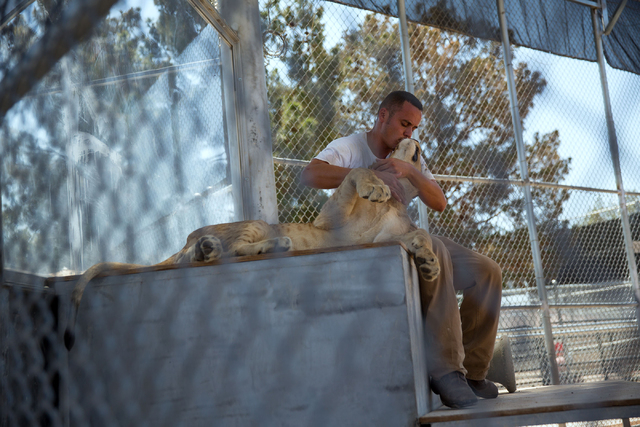 Lion handler Javier Quezada gives Rusty a kiss while working at the Lion Habitat Ranch, 382 Bruner Ave., Friday, Aug. 1, 2014. (Samantha Clemens-Kerbs/Las Vegas Review-Journal file)
