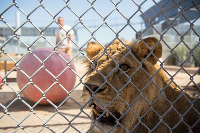 One of 50 lions housed at the Lion Habitat Ranch is photographed while handler Javier Quezada walks in the distance Friday, Aug. 1, 2014. (Samantha Clemens-Kerbs/View)