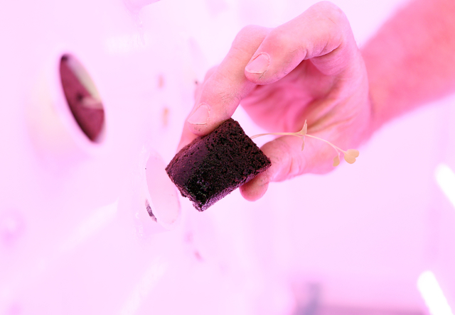 An arugula plug containing polymer and peat moss is put into a vertical aeroponic growing panel lit by LED grow lights inside an Indoor Farms of America grow truck Monday, March 30, 2015, in Hende ...