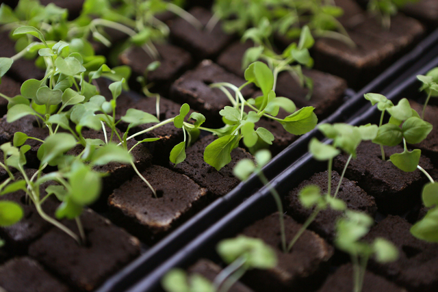 Young arugula and basil plants are shown in plugs on a germination heat pad in an Indoor Farms of America grow truck Monday, March 30, 2015, in Henderson. Indoor Farms of America owners plan to ex ...