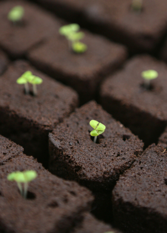 Days old basil plugs are shown in plugs on a germination heat pad in an Indoor Farms of America grow truck Monday, March 30, 2015, in Henderson. Indoor Farms of America owners plan to exhibit thei ...