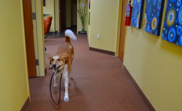 Hooch takes himself for walk at The Firm Public Relations & Marketing. (Ginger Meurer/View)