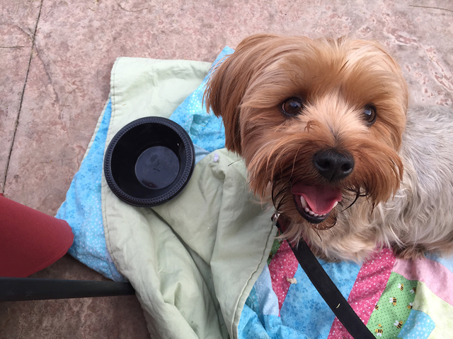 Henderson View reporter Caitlyn Belcher's Yorkshire terrier, Zuri, enjoys eating and relaxing at Annie's Gourmet Italian, 75 S. Valle Verde Drive. The restaurant allows pets on its patio and offer ...