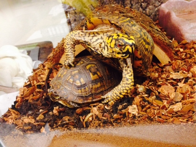 Turtles are seen at Delcon Termite & Pest Control in Las Vegas, Feb. 2015. (Special to View)